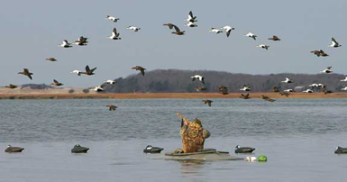 Sea Duck Hunting Guides Hunt Maine Sea Ducks With The